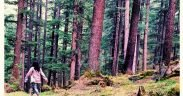 Fairy Forest Pulga